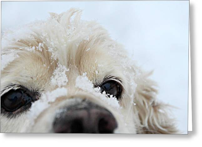 Spaniel Greeting Cards - Wanna Build a Snowman? Greeting Card by Amy Steeples
