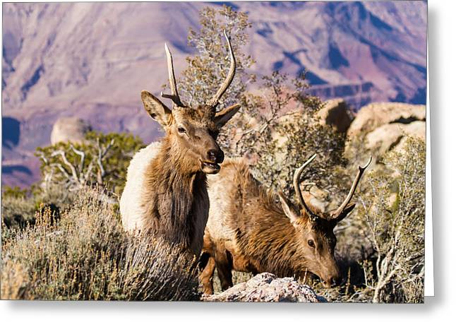 Wapiti Greeting Card by James Marvin Phelps