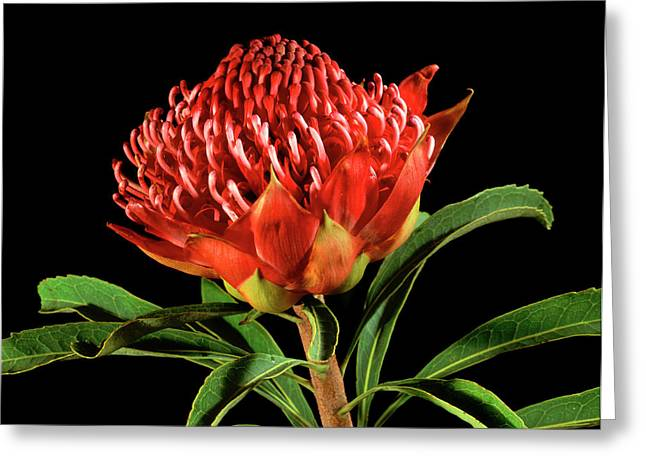 Waratah (telopea Speciosissima) Greeting Card by Gilles Mermet