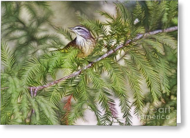 Warbler In The Cypress Greeting Card by Deborah Benoit