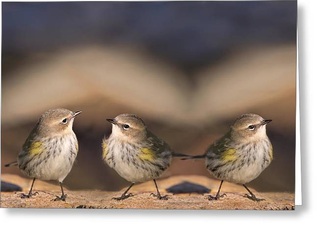 Warblers Greeting Cards - Warbler Times Three Greeting Card by Bonnie Barry