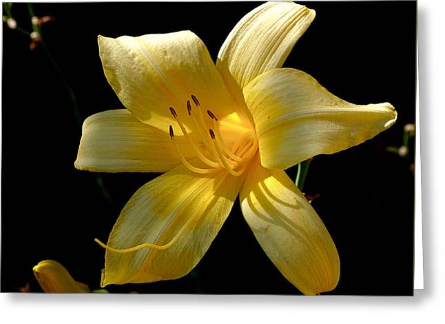 Lily Greeting Cards - Warm Glow Greeting Card by Rona Black