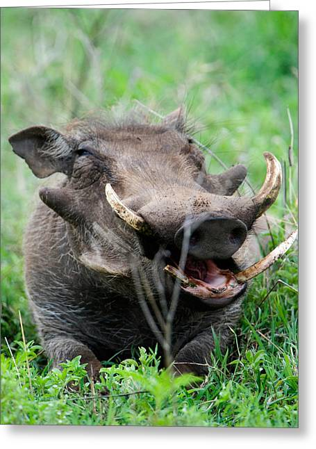 Snout Greeting Cards - Warthog Phacochoerus Aethiopicus Greeting Card by Panoramic Images