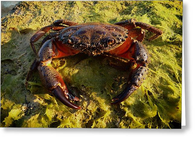 Pincers Greeting Cards - Warty or Yellow Crab - Old Male Greeting Card by Mountain Dreams