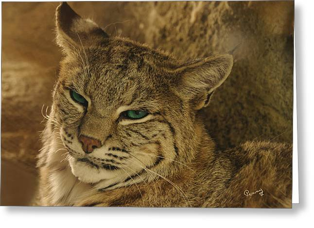 Wary Bobcat Greeting Card by Penny Lisowski