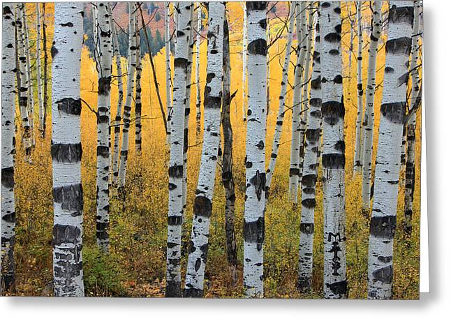 Yellow Trees Greeting Cards - Wasatch Aspens Greeting Card by Johnny Adolphson