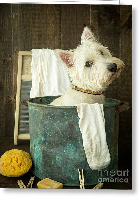 Westie Pup Greeting Cards - Wash Day Greeting Card by Edward Fielding
