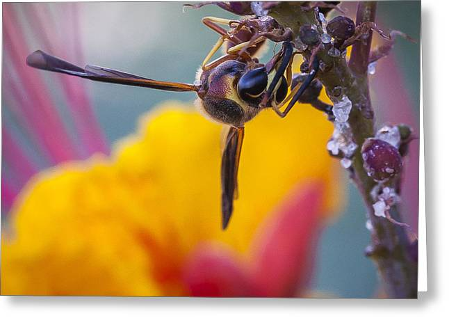 Pollinator Greeting Cards - Wasp Gathering Nectar Greeting Card by David Wagner
