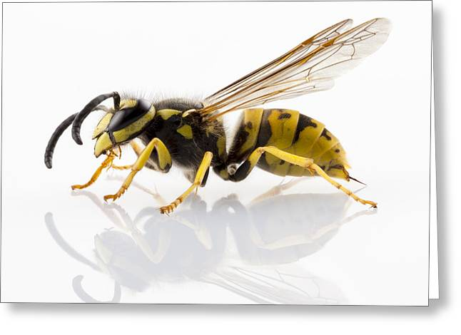 Yellow Jacket Greeting Cards - Wasp Isolated  Greeting Card by Pablo Romero