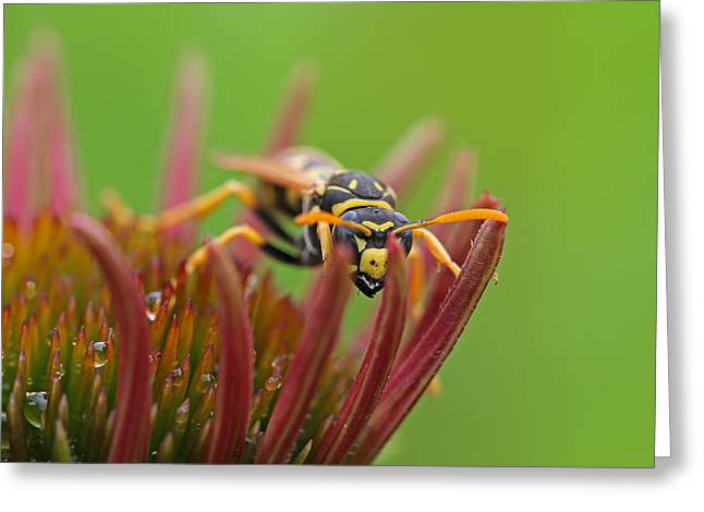 Gold Jacket Greeting Cards - Wasp  Greeting Card by Juergen Roth