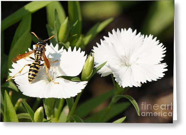 Reflections Of Infinity Greeting Cards - Wasp on Dianthus Floral Lace White Flower 2 Greeting Card by Robert E Alter Reflections of Infinity