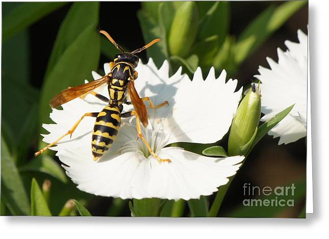 Reflections Of Infinity Greeting Cards - Wasp on Dianthus Floral Lace White Flower 3 Greeting Card by Robert E Alter Reflections of Infinity