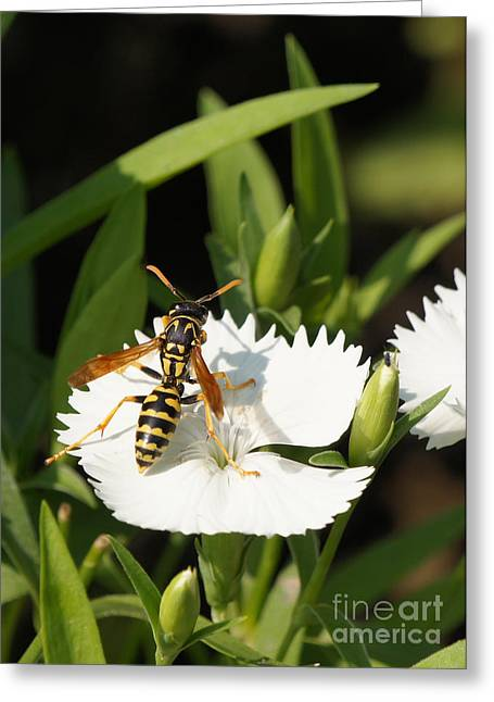 Reflections Of Infinity Greeting Cards - Wasp on Dianthus Floral Lace White Flower 4 Greeting Card by Robert E Alter Reflections of Infinity