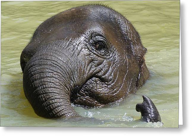 Saheed Greeting Cards - Watch My Trunk - Young Asian Elephant Greeting Card by Margaret Saheed
