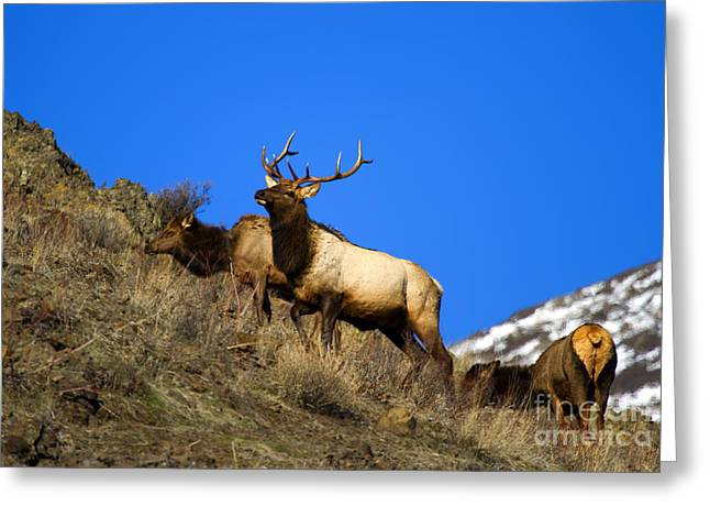 Elk Greeting Cards - Watchful Bull Greeting Card by Mike  Dawson