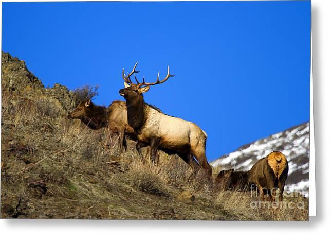 Watchful Bull Greeting Card by Mike  Dawson