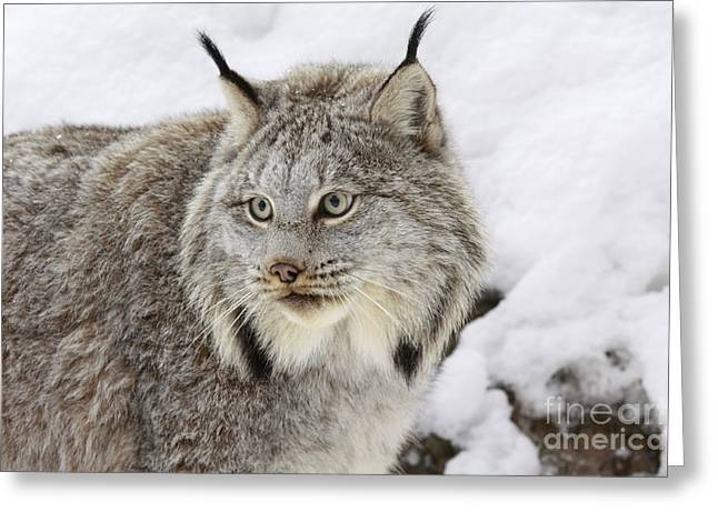 White Thick Fur Greeting Cards - Watchful Canadian Lynx Greeting Card by Inspired Nature Photography By Shelley Myke