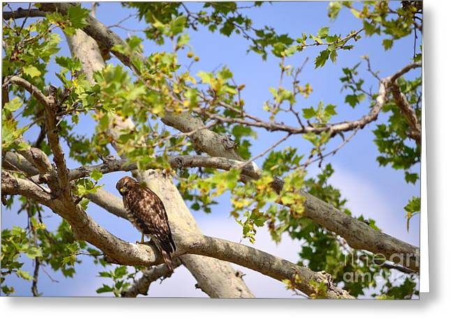 Red Tail Hawk Photo Greeting Cards - Watchful Eye Greeting Card by Johanne Peale
