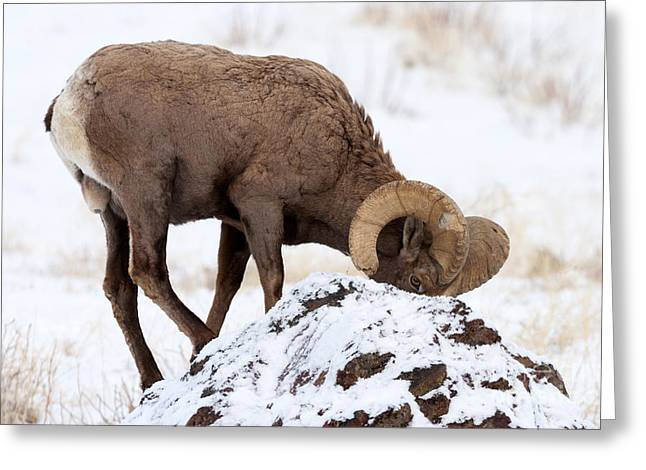 Bighorn Greeting Cards - Watchful Eye Greeting Card by Mike Dawson