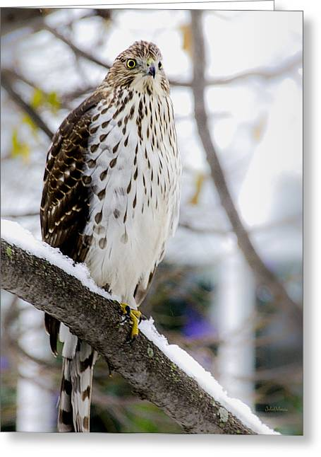Bird On Tree Greeting Cards - Watchful Eye of a Hawk Greeting Card by Julie Palencia