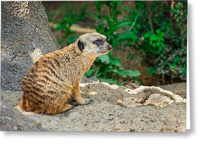 Watchful Meerkat Greeting Card by Jon Woodhams