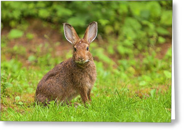 Watchful Snowshoe Hare In Summer Phase Greeting Card by Michael Qualls
