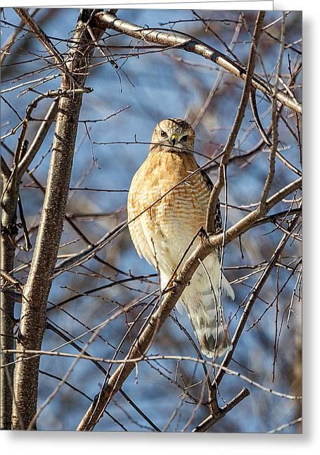 Hawk Greeting Cards - Watchin You Like A Hawk Greeting Card by Bill  Wakeley