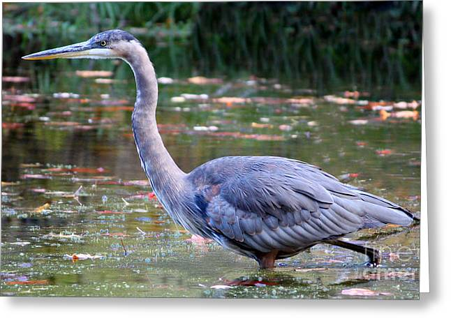 Birding Greeting Cards - Watching and Wading Greeting Card by Anita Oakley