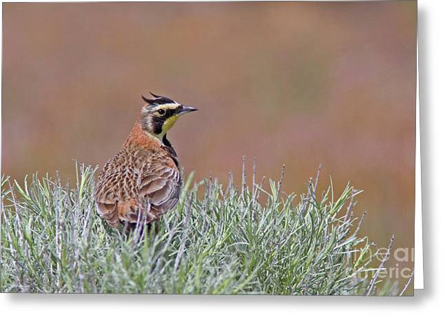 Horned Larks Greeting Cards - Watching Greeting Card by Gary Wing