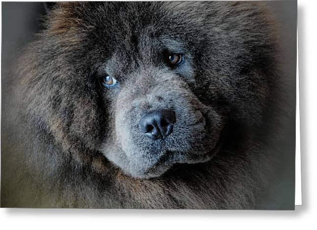 Artistic Photography Greeting Cards - Watching Master - Blue Chow Chow Greeting Card by Jai Johnson