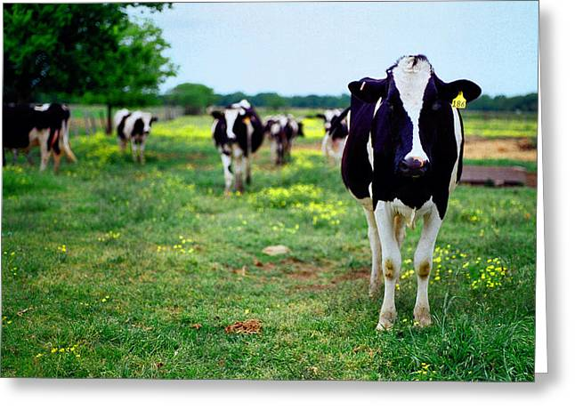 Jersey Cow Greeting Cards - Watching Me Greeting Card by Linda Unger