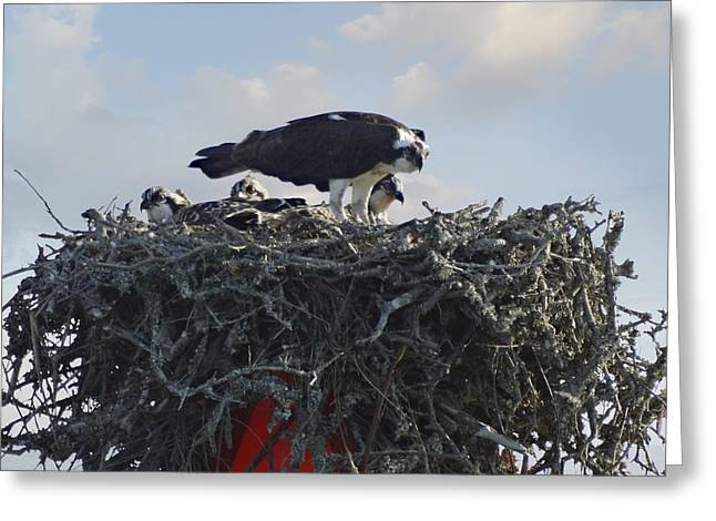 Topsail Island Greeting Cards - Watching The Kids - Ospreys Greeting Card by Mike McGlothlen