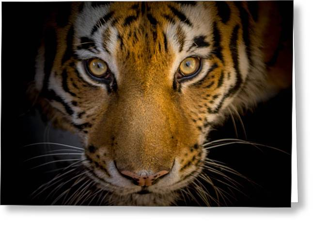 Wildcats Greeting Cards - Watching You Greeting Card by Ernie Echols