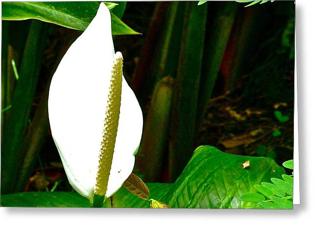 Suthep Greeting Cards - Water Arum in Park across from Wat Phrathat Doi Suthep in Chiang Mai-Thailand. Greeting Card by Ruth Hager