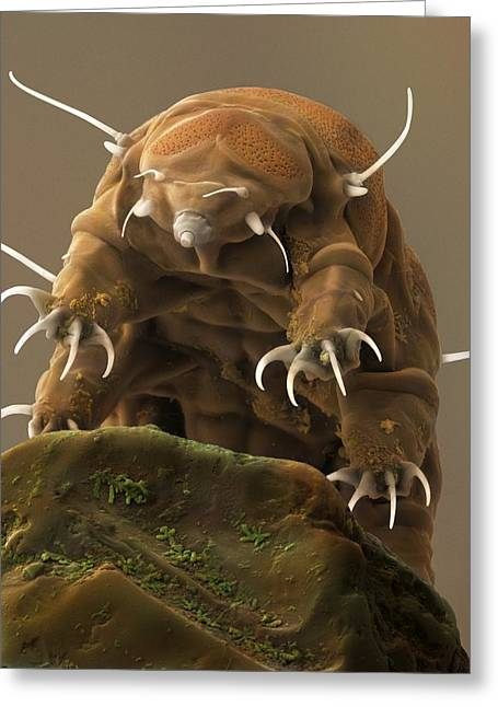 Scanning Electron Microscope Greeting Cards - Water Bear or Tardigrade Greeting Card by Science Photo Library