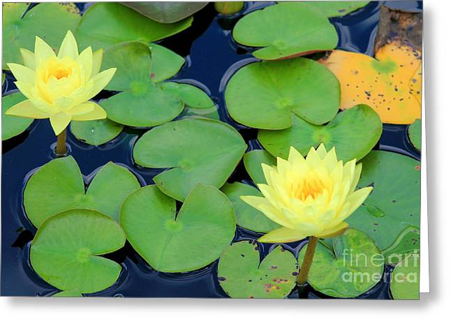 Lilly Pads Greeting Cards - Water Beauties Greeting Card by Alisha Paul