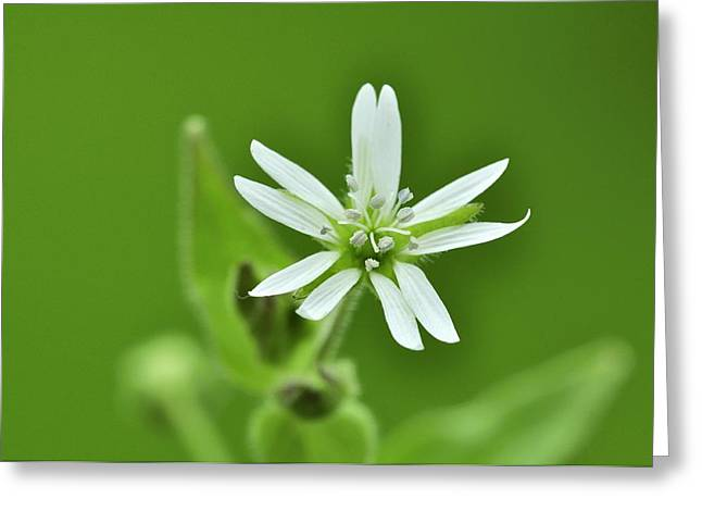 Biological Greeting Cards - Water chickweed (Myosoton aquaticum) Greeting Card by Science Photo Library