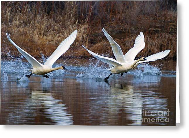 Swans... Photographs Greeting Cards - Water Dance Greeting Card by Mike  Dawson