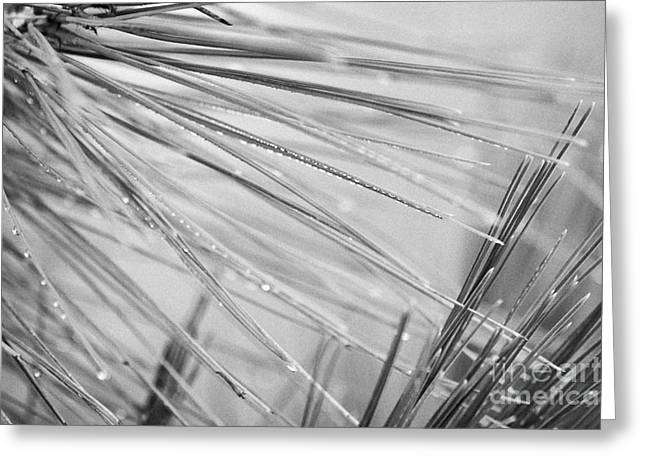 Pine Needles Greeting Cards - water droplets from mountain mist running down pine needles on conifer trees on El Teide mountain Tenerife Canary Islands Spain Greeting Card by Joe Fox