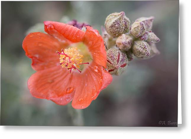 Sphaeralcea Greeting Cards - Water Drops on a Globemallow Greeting Card by Aaron Burrows
