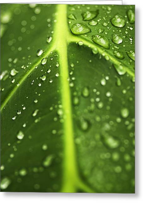 Elephant Ear Plant Greeting Cards - Water drops on a leaf Greeting Card by Vishwanath Bhat