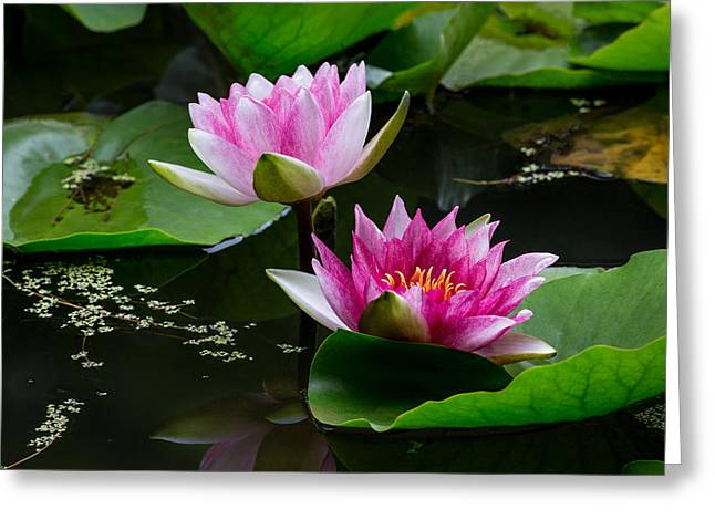 Water Lilly Greeting Cards - Water Garden Delight Greeting Card by Dale Kincaid