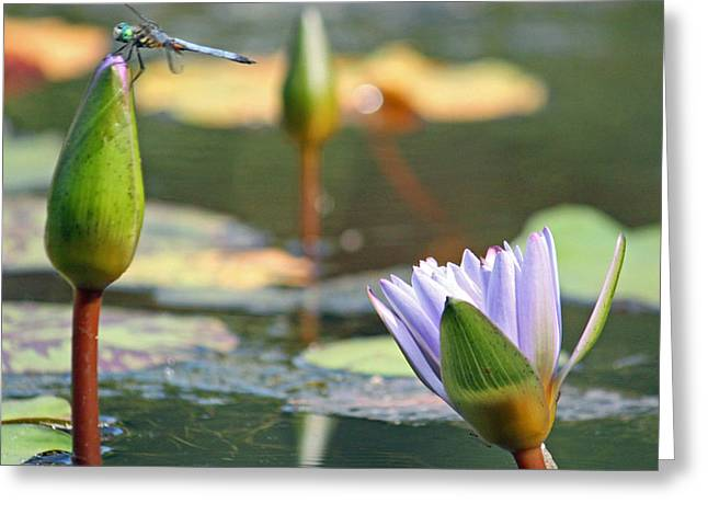 Lily Pad Greeting Cards Greeting Cards - Water Garden Scenic Greeting Card by Suzanne Gaff