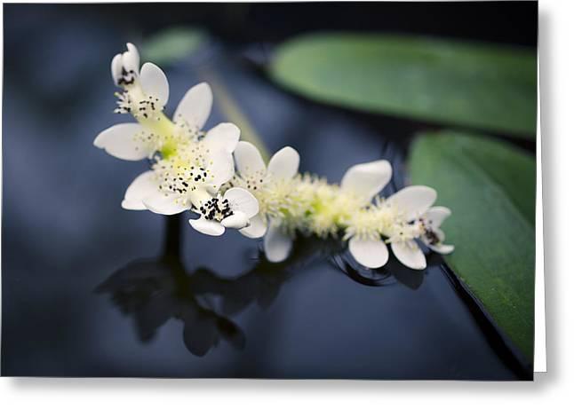 Aquatic Greeting Cards - Water Hawthorn Greeting Card by Priya Ghose