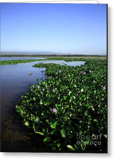 Ovates Greeting Cards - Water Hyacinth Greeting Card by Deborah Benbrook