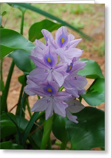 Water Hyacinth Greeting Card by Robert Floyd