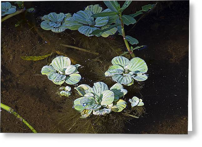 Lettuce Greeting Cards - Water Lettuce Greeting Card by Kenneth Albin