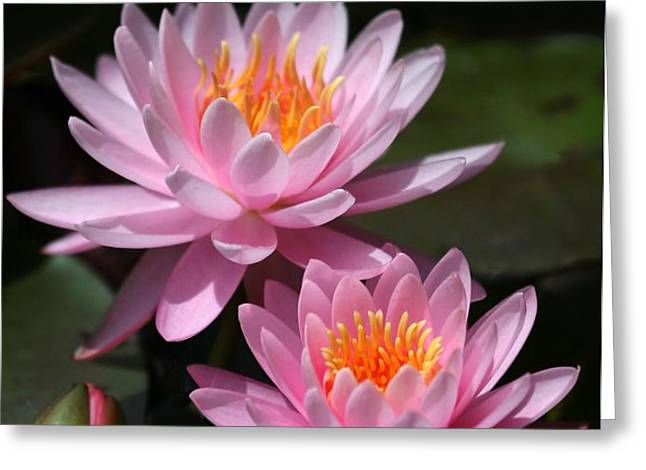 Water Lilies Love the Sun Greeting Card by Sabrina L Ryan
