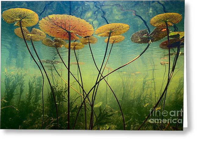 Science Collection - Greeting Cards - Water Lilies Greeting Card by Frans Lanting MINT Images