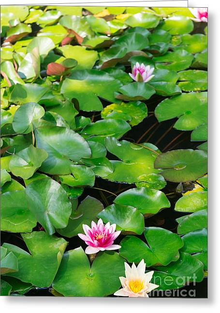 Lilly Pads Greeting Cards - Water lilies Greeting Card by Oleksiy Maksymenko